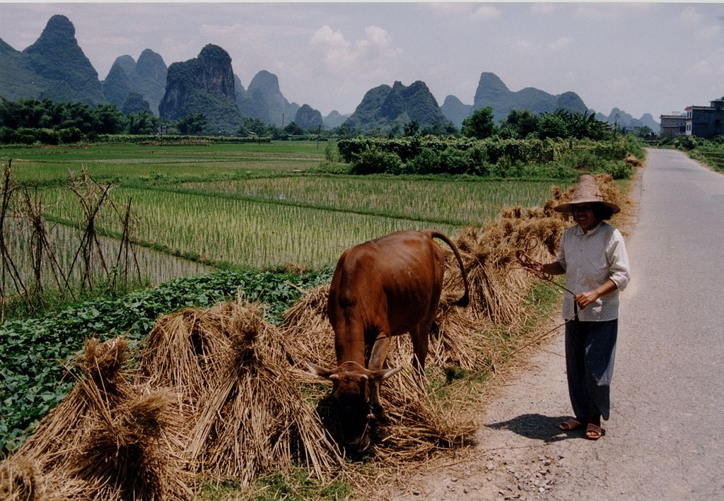 A Chinese rice field farmer. By Markus23. From Wikimedia Commons.